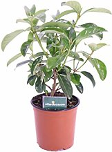 pianta di Viburno Lucido pianta di Viburnum