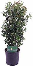 pianta di Viburno Tino pianta da esterno di