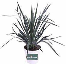 pianta di yucca in vaso yucca in vaso da esterno