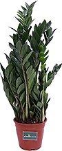 Pianta di Zamioculcas Zamilifolia pianta da