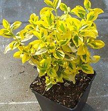 Pianta Euonymus Fortunei Emerald Gold in vaso ø11