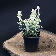 Pianta Euonymus Fortunei Harlequin in vaso ø11 cm