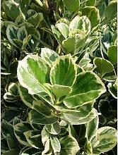 Pianta Euonymus in Vaso 7cm - Piante Mediterranee