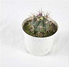 Pianta Grassa Echinocactus, Vaso 10cm, Altezza