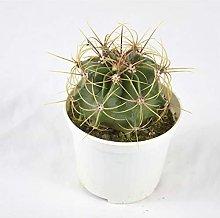 Pianta Grassa Ferocactus Histrix