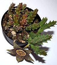Pianta Grassa Stenocerus Desmetiana, Vaso 10cm
