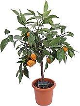 pianta nana di Arancio Corrugato albero nano di