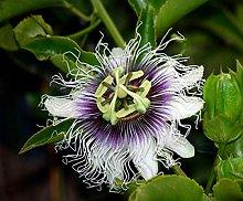 Pianta Passiflora Edulis Da Frutto, Eretto su