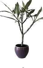 Pianta Plumeria in Vaso di Ceramica