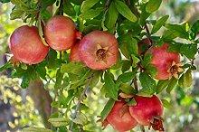 Pianta vera da frutto ALBERO DI MELOGRANO-PUNICA