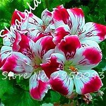 Piante 20 Rare Seed Semente Geranium Flower Indoor