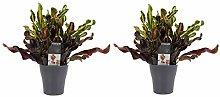 Piante da interno – 2 × Croton in vaso grigio