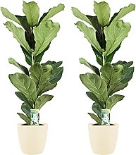 Piante da interno – 2 × Ficus lyrata in vaso