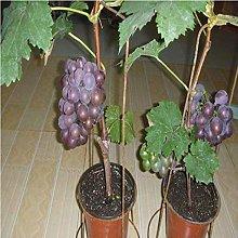 Piantina d'uva Vaso in vaso Albero d'uva