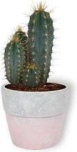 Pilosocereus Azureus - Cactus di fiaccola esotici