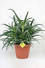 PLANTI' PIANTA VERA DI ALOE Aloe arborescens