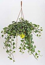 Plantì HEDERE BASKET Elegantissima. Edera