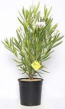 Plantì NERIUM Oleander, Oleandro Piante Vere da