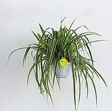 Plantì PIANTA VERA DI CLOROFITO Chlorophytum