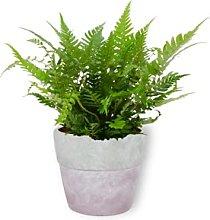 Polystichum Biaristatum - Pianta da camera in vaso
