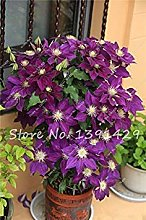Potseed Hot 2 Pz Reale Clematis Bulbi, (Non
