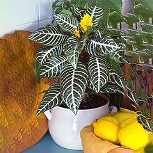 Premium Aphelandra Verde | Sempreverde Colorata |