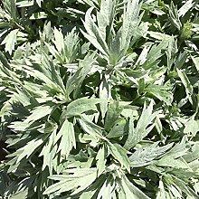 puran 100 Pz/Borsa Semi Di Artemisia Vulgaris Per