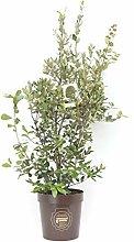 Quercus ilex, Leccio, Cespuglio, Pianta vera in