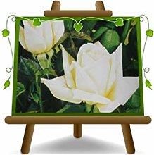 Rosa a Cespuglio Bianco Grandi Fiori su vaso da 18