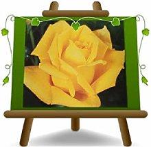 Rosa a Cespuglio Giallo Puro Grandi Fiori su vaso