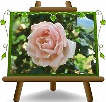 Rosa Alberello Rosa Tenero Grandi Fiori Altezza