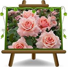 Rosa Coprisuolo Meilland Botticelli - Piante Rose