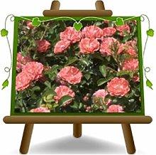 Rosa Coprisuolo Meilland Coral Compact - Piante