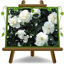 Rosa Coprisuolo Meilland White - Piante Rose - su