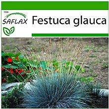 SAFLAX - Festuca azzurra - 50 semi - Con substrato