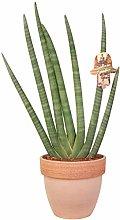 Sansevieria Cylindrica design in vaso terracotta