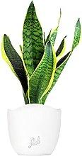 Sansevieria Trifasciata Altezza 45 cm, Pianta