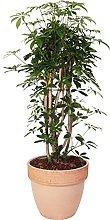 Schefflera arboricola 'Compacta' in vaso