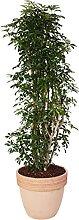 Schefflera arboricola 'Luseane' in vaso