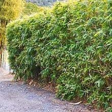 Semi 40PCS Bonsai Purple Bamboo Outdoor vaso