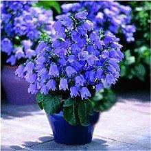 Semi di campanula colore misto giardino fiori in