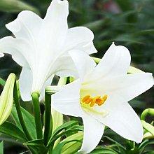 Semi di fiore Pianta semi 200pcs / bag Lily Bulbi