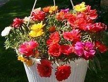 . Semi di Fiore: Semi Sun Fiore pianta Pianta Semi