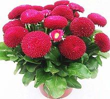 Semi di fiori margherita fiori in vaso piante da