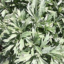 Shoppingba - Semi di Artemisia Vulgaris perenni,