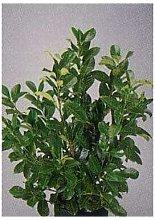 Siepe Lauroceraso - Vaso da 15 cm