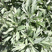 Somerway 100 Pezzi/Borsa Semi Di Artemisia