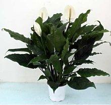 Spathiphyllum pianta da appartamento arredamento