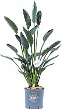 Strelitzia reginae, Pianta vera in vaso di