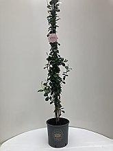 Trachelospermum jasminoides, Gelsomino